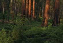 Future of Sequoias: Fine Art Photography of Sequoia and Kings Canyon National Parks by Jeff Jones
