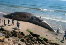 Marine Sanctuary Looks to Protect Blue Whales