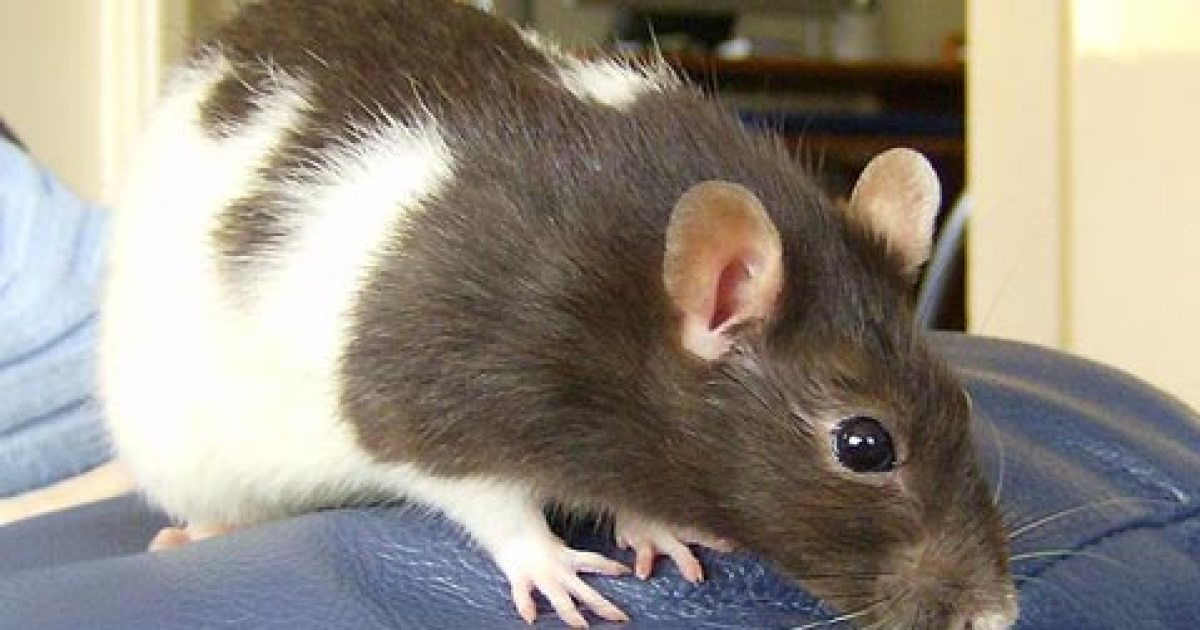 Ancient Origins Of Pet Rats The Santa Barbara Independent,Chameleon Petco