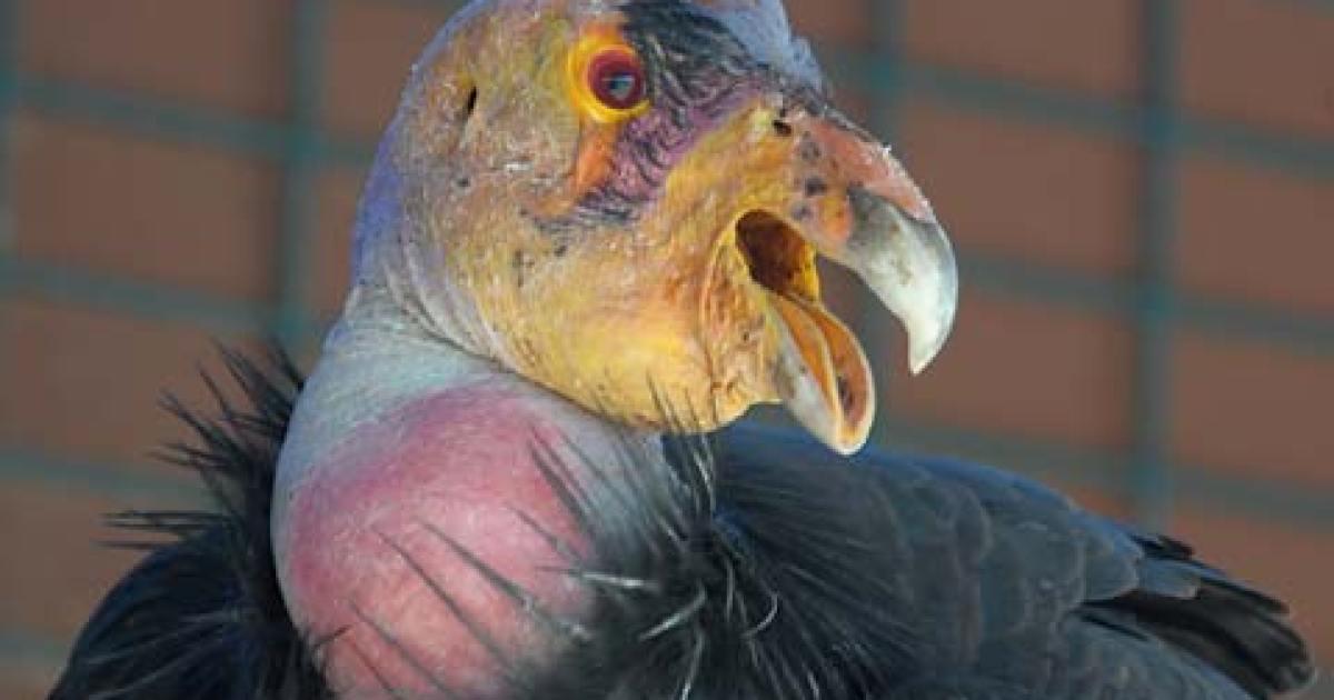 The Great California Condor Comeback - The Santa Barbara Independent