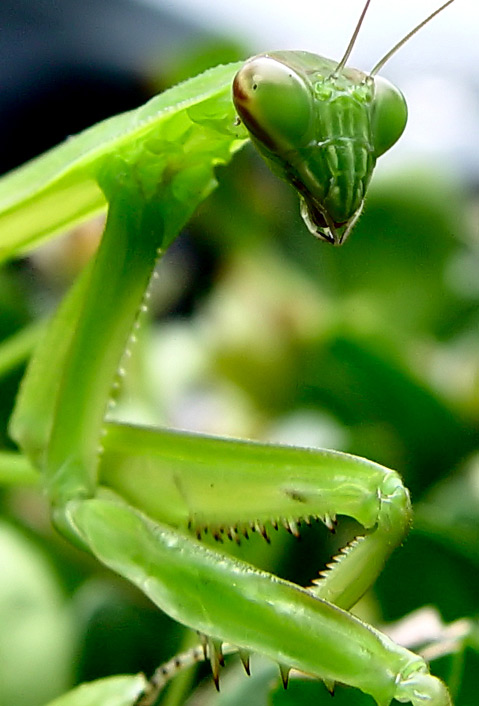 From Roly Polies To Praying Mantises The Santa Barbara Independent
