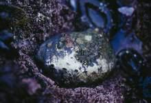Feds Declare Critical Habitat For Black Abalone