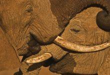 Mike Nichols Talks Lions, Elephants & Giants
