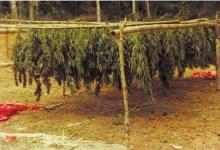 The Untold Story of the Marijuana Trade