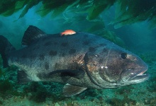 UCSB Researchers Organize Giant Sea Bass Count