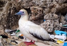 New Study Estimates High Plastic Levels in Seabirds
