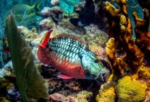 Weakened Corals Can Succumb to Parrotfish