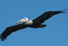 Brown Pelican Results Are In