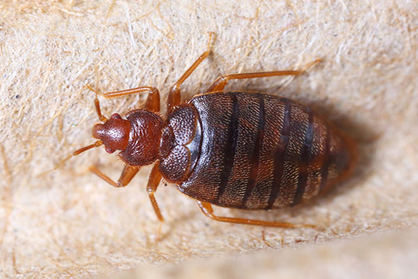 Bed Bugs On The Rise The Santa Barbara Independent