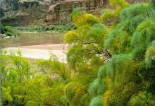 Invasive Tamarisk Targeted by Forest Service