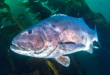 Giant Sea Bass: For Lunch or Dive Buddy?