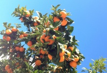 The ABCs of Healthy Citrus Trees