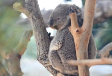 Meet the Santa Barbara Zoo's New Koalas