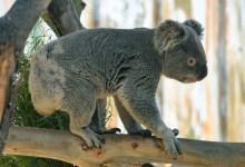 Koalas in Our Midst