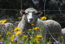 The Sheep Project at San Marcos Foothills Preserve
