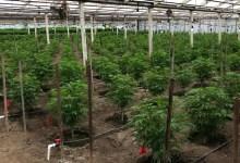 Joint Los Alamos and Grover Beach Bust Seizes Cannabis