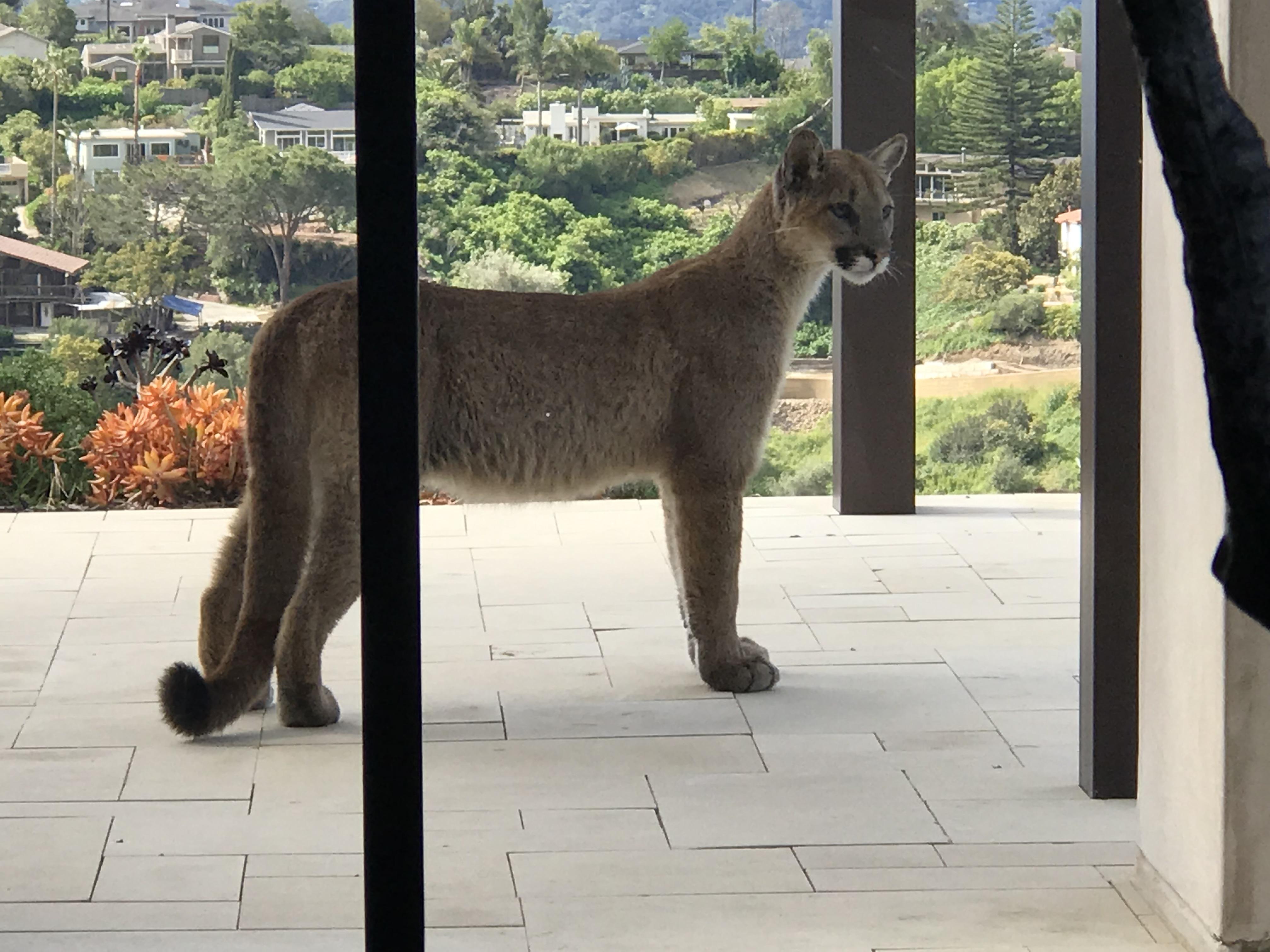 Santa barbara cougars