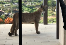 Mountain Lion Spotted near Residences