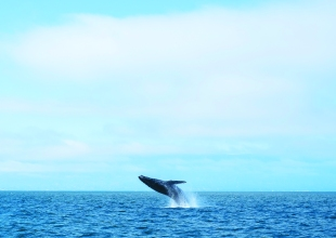 Last Call for Spring Whale-Watching