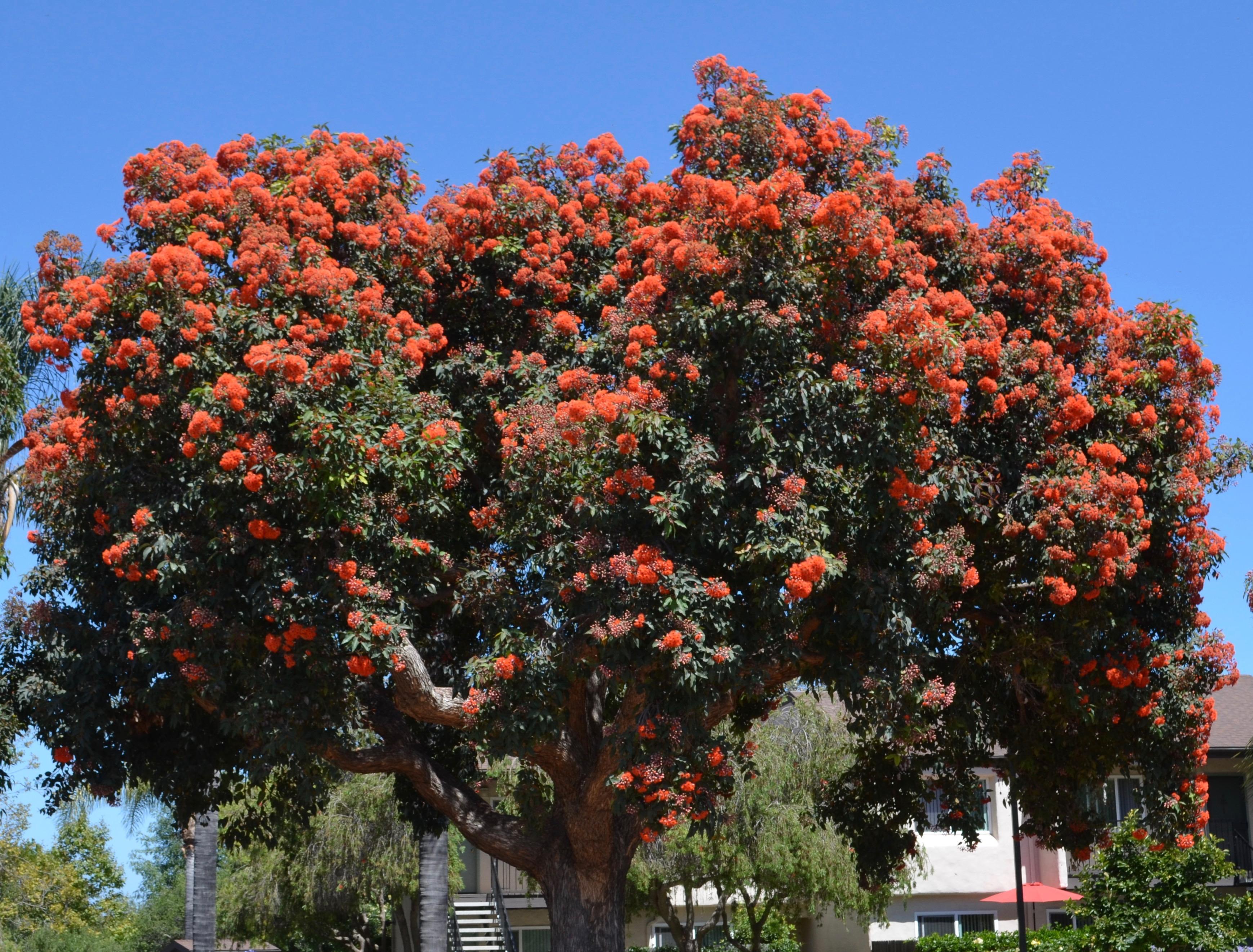 Santa Barbara Flowering Plant Identification The Santa Barbara