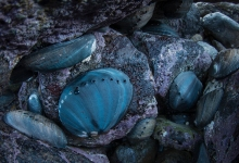 Black Abalone Are Making a Miraculous Comeback