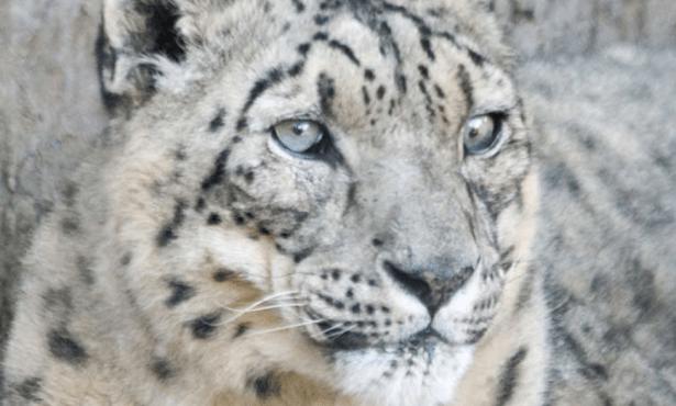 Santa Barbara Zoo Loses Snow Leopard