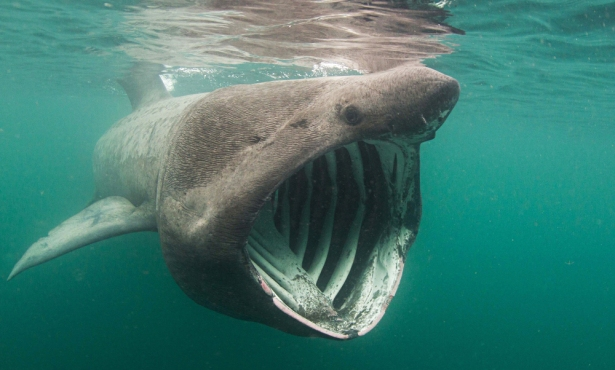 Basking Sharks Are Back in the Santa Barbara Channel