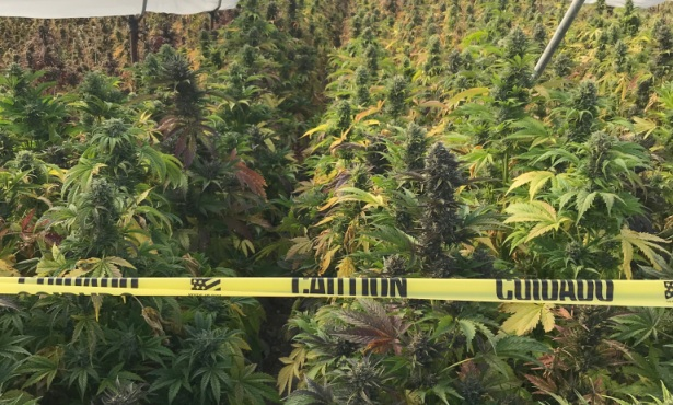 20 Tons of Cannabis Seized During Four-Day Raid