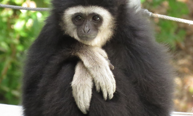 Santa Barbara Zoo Gibbon Dies in Accident