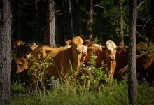 Grazing for Fire Fuels Management