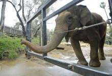 Little Mac, Santa Barbara Zoo's Last Elephant, Now Receiving Hospice Care