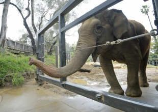 Little Mac, Santa Barbara Zoo's Last Elephant, Now Receiving Hospice Care