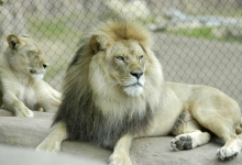Chadwick, the Santa Barbara Zoo's Elderly Lion, Has Died