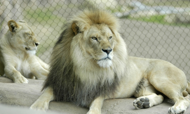 Chadwick, the Santa Barbara Zoo's Elderly Lion, Has Died