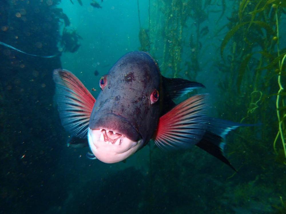 Sheep Head Fish