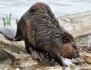 Beavers, a Keystone Species