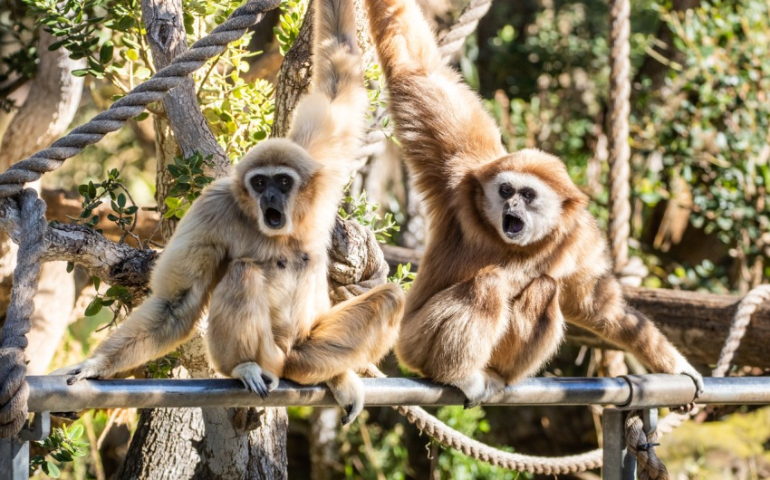 After Rough Few Years, Elderly Zoo Gibbon Gets New Mate
