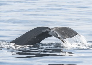 Gray Whale Migration Season Kicks Off