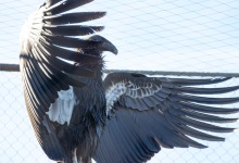 Zoo Welcomes Three New Condors