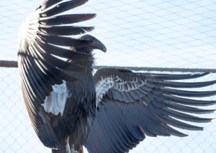 Zoo Welcomes Three New Condors