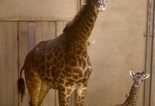 Santa Barbara Zoo Welcomes Twiga the Baby Giraffe