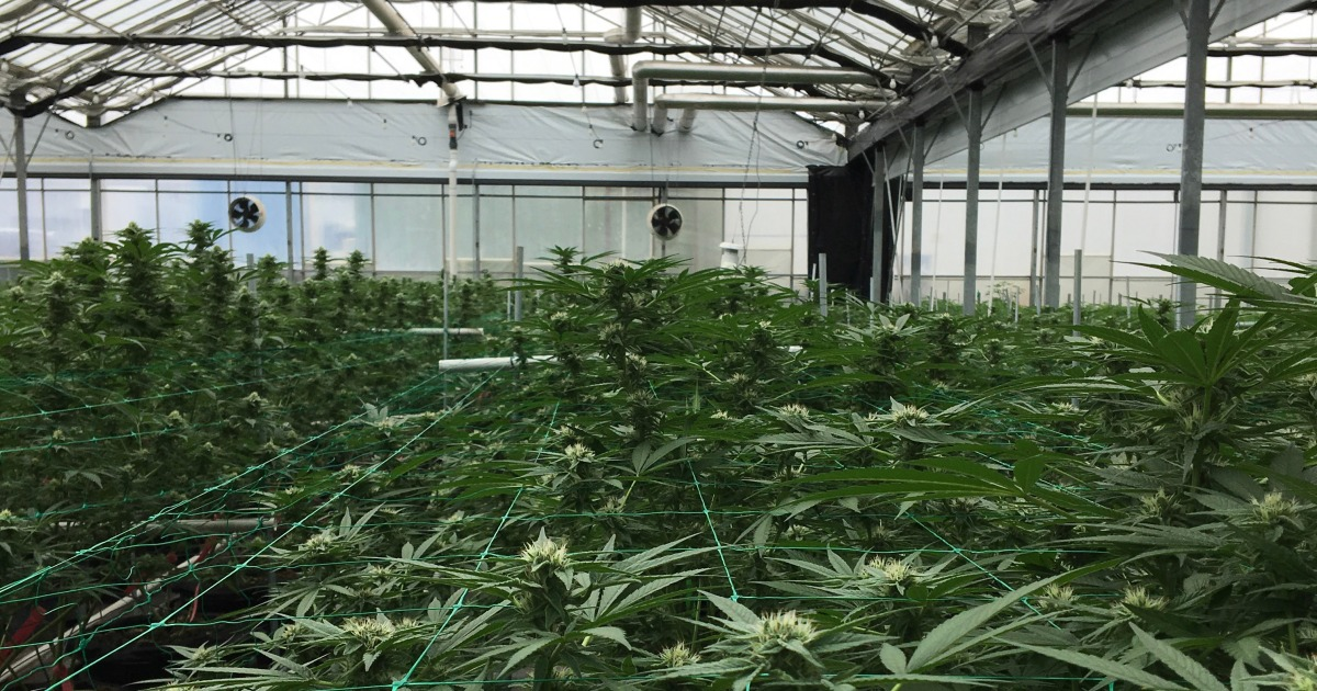 Reining in Cannabis Tax Scofflaws