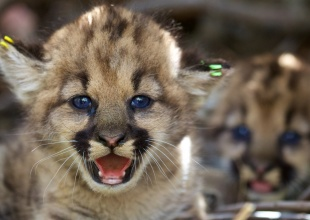 California Takes Steps to Protect Mountain Lions