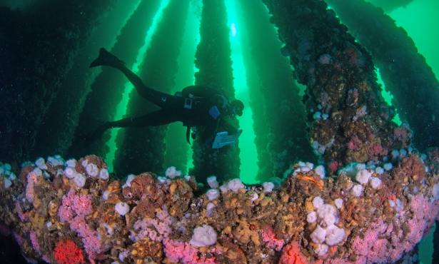 Sea Life Finds a Way Among Old Oil Platforms' 'Jacket Complexity'