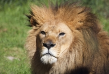 Santa Barbara Zoo to Welcome New Lions