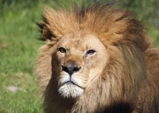 Santa Barbara Zoo to Welcome New Lions