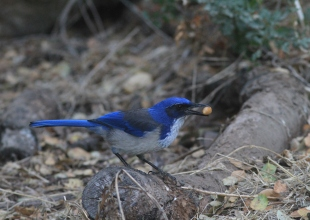 Island Scrub Jays Are the 'Cache Kings' of the Channel Islands