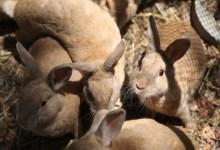 Santa Barbara Braces for 'Bunny Ebola'