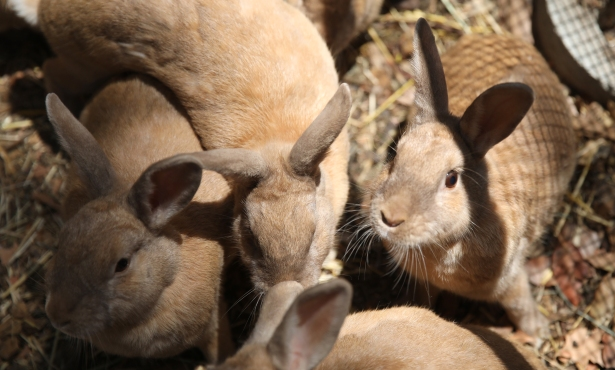 Santa Barbara Braces for 'Bunny Ebola'