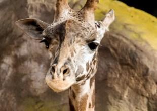 Santa Barbara Zoo Staff Mourns Death of Newborn Giraffe
